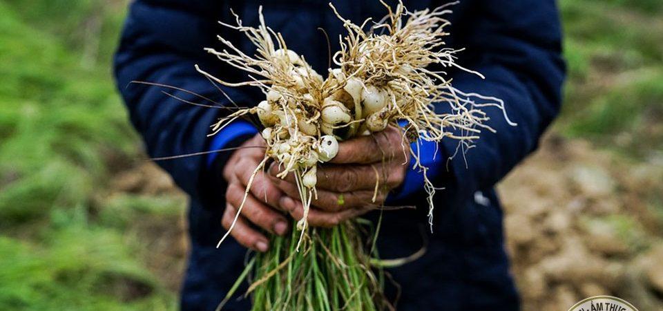 Mùa thu hoạch hành tăm tại Hà Tĩnh